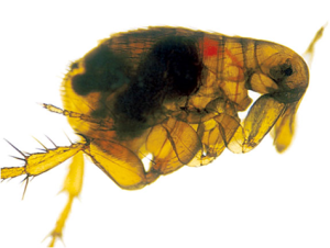 Yersinia pestis, stained red in the gut of a flea and usually associated with flea-borne transmission from rodents, is responsible for three types of plague disease – Boubonic, Pneumonic and Septicemic