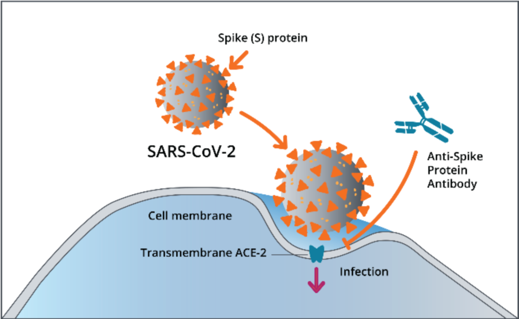 Diagram of SARS-CoV-2 spike protein and cell membrane
